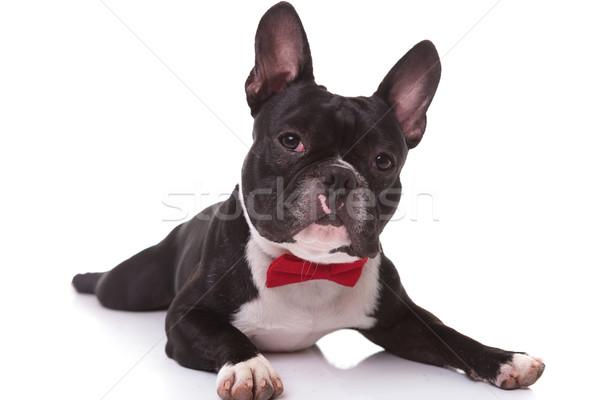 Francia bulldog kutyakölyök visel csokornyakkendő fekszik Stock fotó © feedough