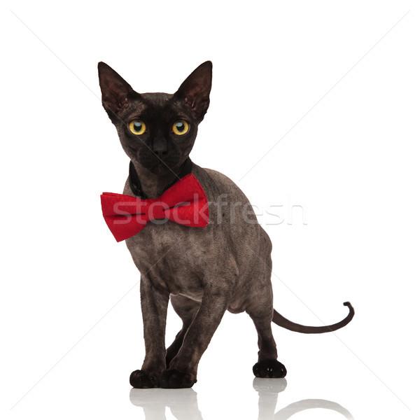 Imádnivaló szürke macska visel csokornyakkendő áll Stock fotó © feedough