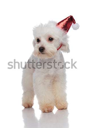 bichon with glowing santa cap stepping and looking to side Stock photo © feedough