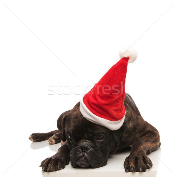Cute zmęczony bokser Święty mikołaj cap patrząc w dół Zdjęcia stock © feedough