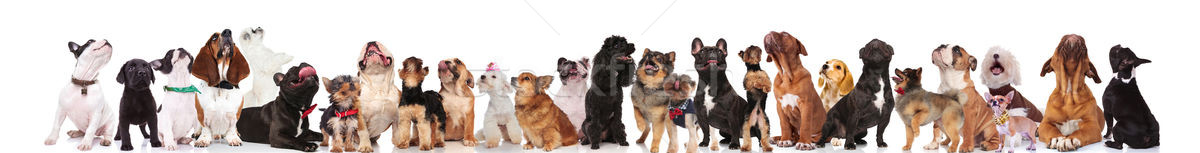 Stock photo: adorable large group of different dogs look up