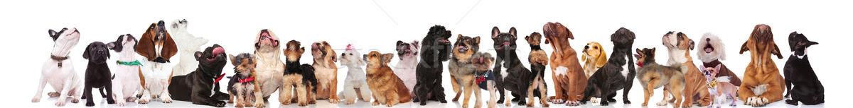 çok güzel büyük bir grup farklı köpekler aramak ayakta Stok fotoğraf © feedough