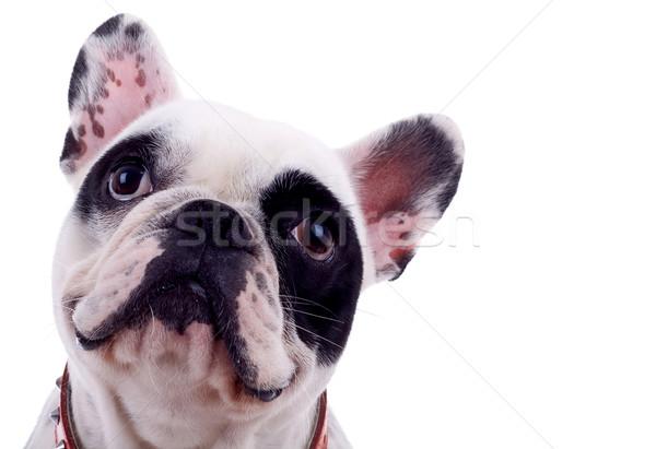 Stockfoto: Hoofd · frans · bulldog · geïsoleerd · witte · dieren