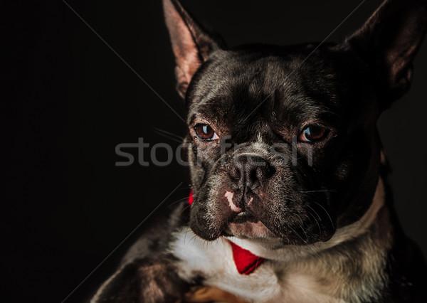 Portret mały francuski bulldog czerwony Zdjęcia stock © feedough