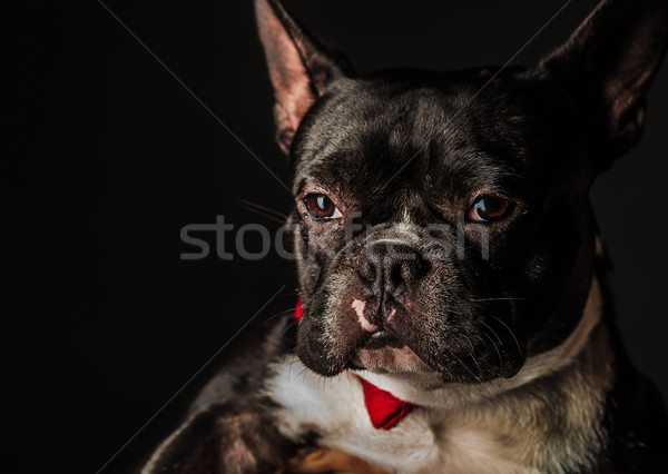 Portré kicsi francia bulldog visel piros Stock fotó © feedough