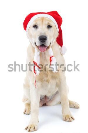Noel baba labrador retriever oturma beyaz stüdyo Stok fotoğraf © feedough