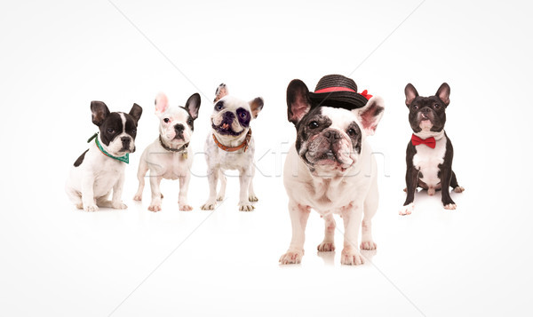 french bulldog wearing hat standing in front of dogs Stock photo © feedough