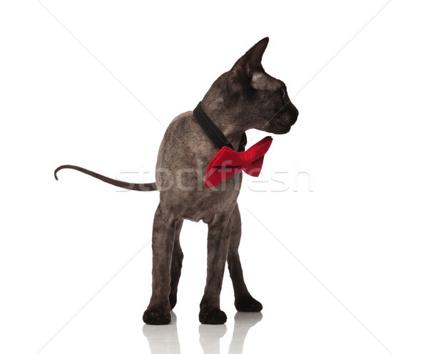 grey cat wearing red bow tie looks to side Stock photo © feedough