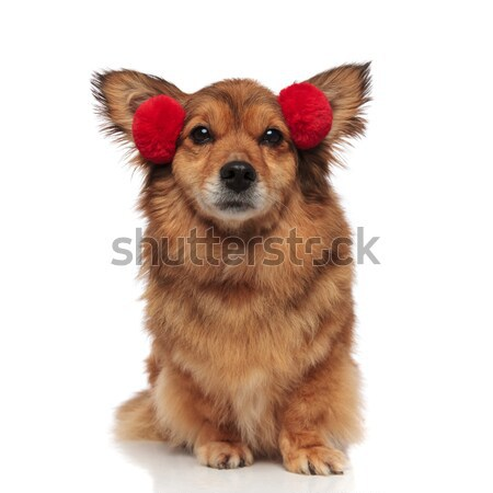 close up of adorable brown dog with funny red earmuffs Stock photo © feedough