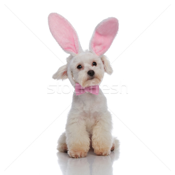 adorable stylish bichon with bunny ears headband looking to side Stock photo © feedough