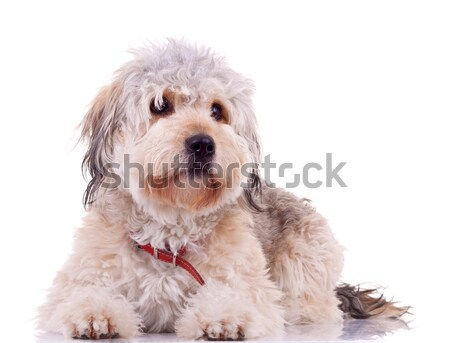 Yawn - Maltese dog puppy Stock photo © feedough