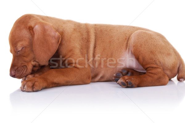 Húngaro cachorro cão adormecido adorável pequeno Foto stock © feedough