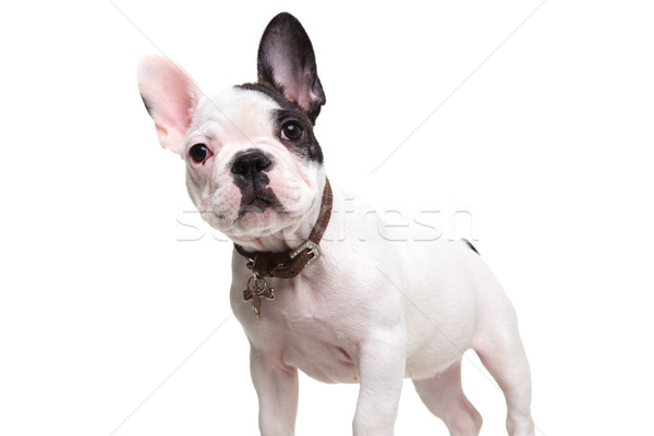 alert little french bulldog puppy standing  Stock photo © feedough
