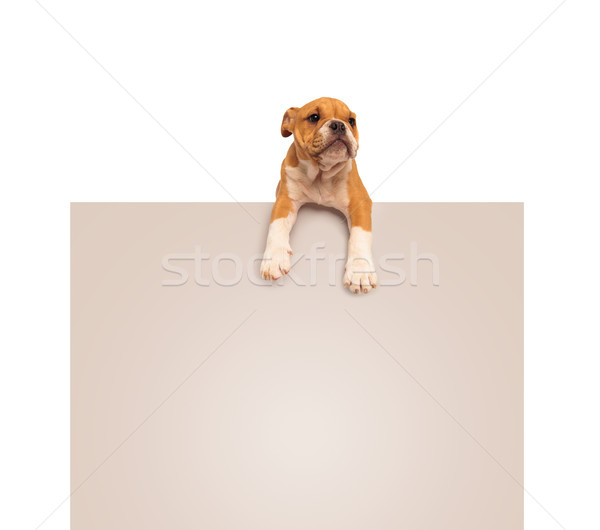 adorable english bulldog puppy  laying down on a blank board Stock photo © feedough