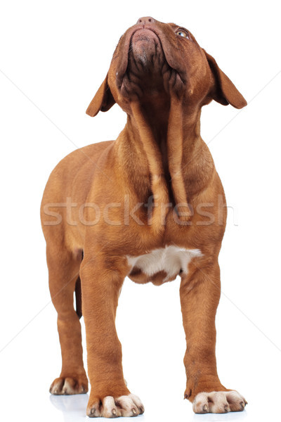 Curioso pequeño francés mastín cachorro Foto stock © feedough