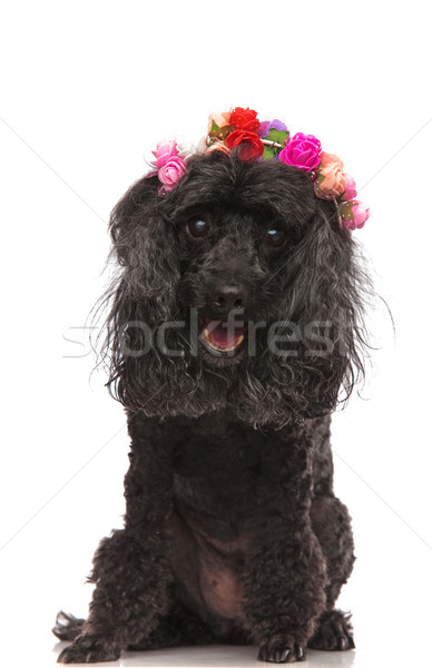 Adorable noir caniche coloré fleurs Photo stock © feedough