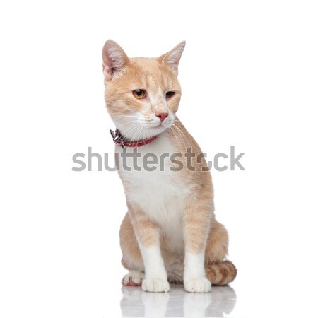adorable seated orange and white cat looks down to side Stock photo © feedough