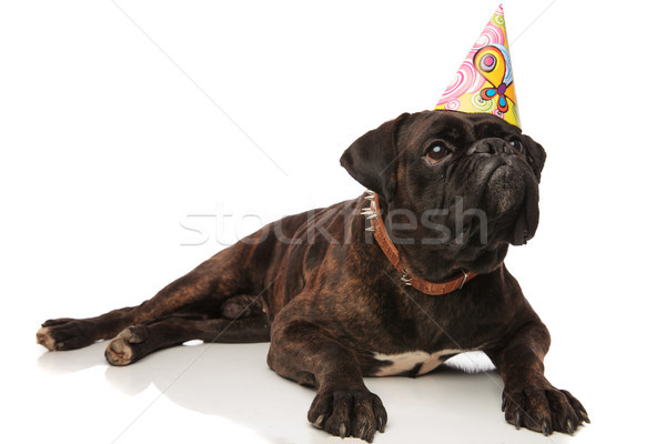 curious boxer lying with birthday cap looks up to side Stock photo © feedough