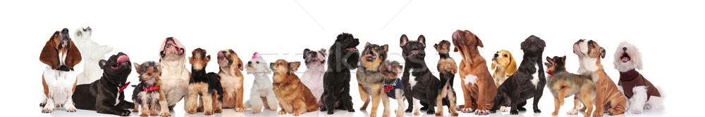 çok çok güzel köpekler farklı ayakta Stok fotoğraf © feedough