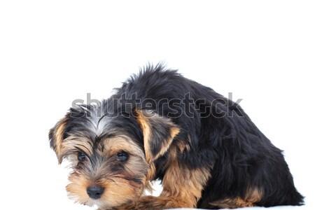 печально мало Йоркшир щенков белый собака Сток-фото © feedough
