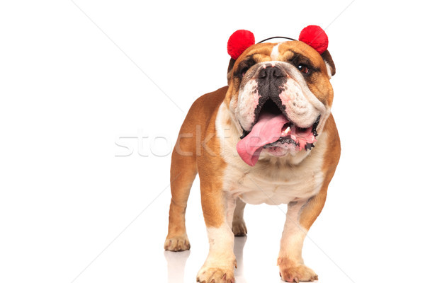 funny english bulldog wearing ear muffs is standing and panting  Stock photo © feedough