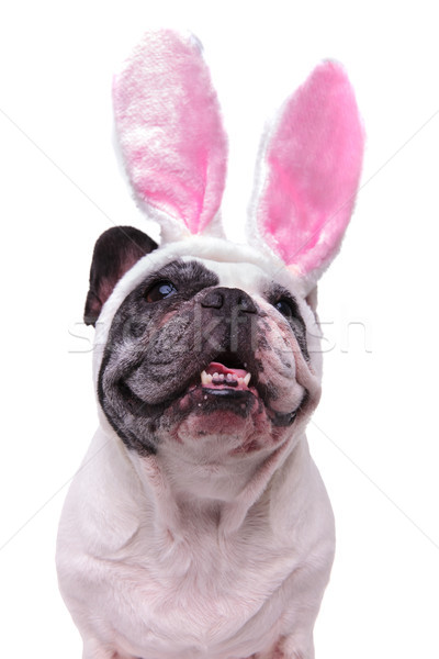 panting french bulldog wearing easter bunny ears looks up Stock photo © feedough