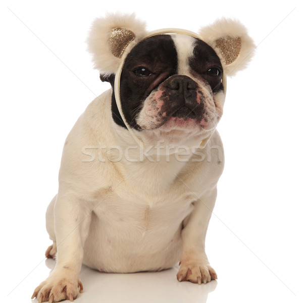 Stock photo: grumpy french bulldog wearing bear ears headband