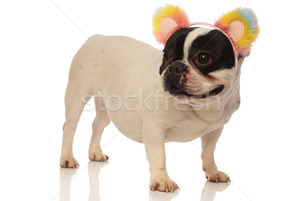 side view of a lovely french bulldog wearing flower headband Stock photo © feedough