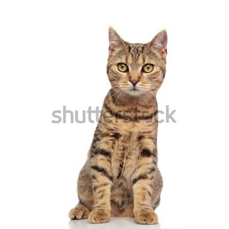 Aanbiddelijk brits kat oranje bont vergadering Stockfoto © feedough