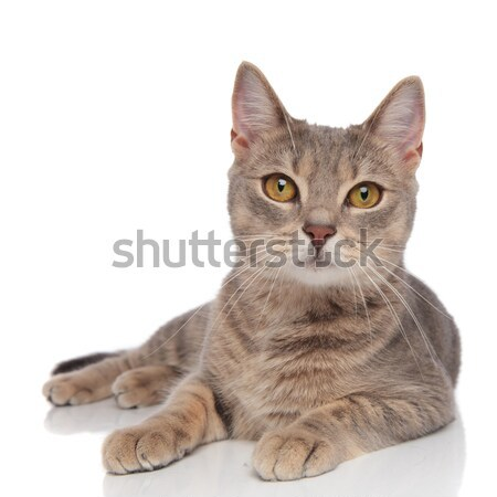 lovely grey metis cat with yellow eyes resting Stock photo © feedough