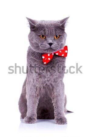 Foto stock: Sentado · grande · Inglés · gato · blanco · cara