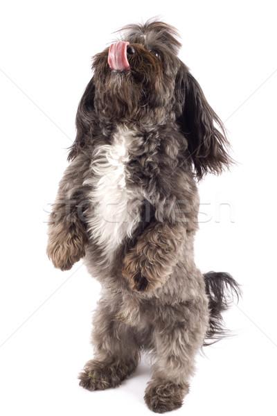 Havanese köpek ayakta bacaklar yalıtılmış beyaz Stok fotoğraf © feedough