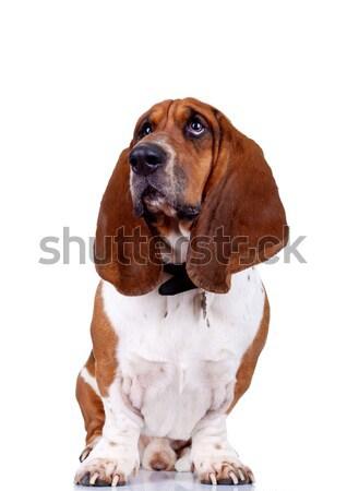 гончая собака глядя и изолированный Сток-фото © feedough