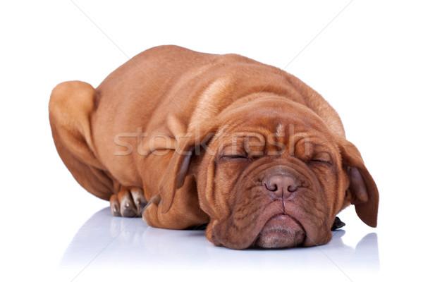 Alszik kutyakölyök Bordeau francia masztiff izolált Stock fotó © feedough