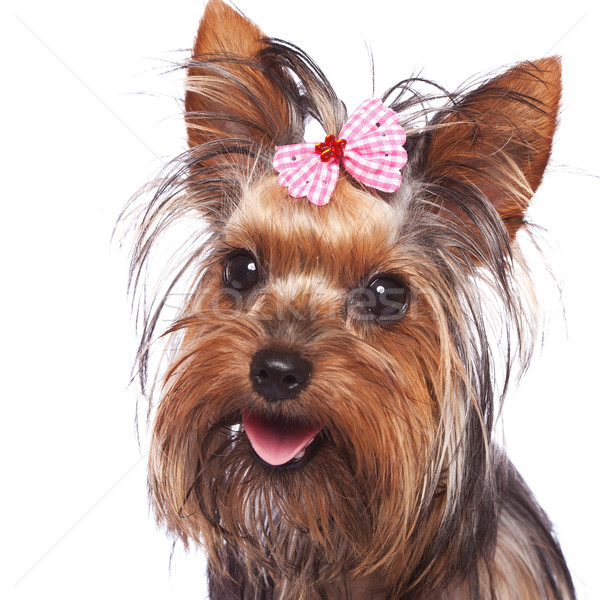 baby face yorkshire terrier puppy dog Stock photo © feedough
