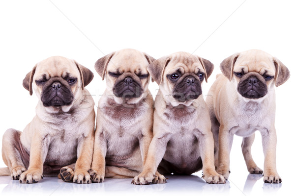 Cztery nudzić szczeniak psów posiedzenia stałego Zdjęcia stock © feedough