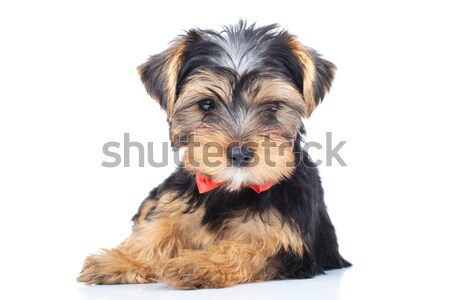 little puppy wearing red bowtie resting  Stock photo © feedough