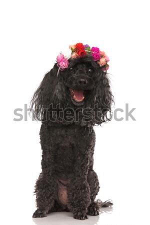 Cute poedel bloemen kroon permanente Stockfoto © feedough