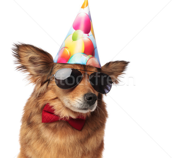 close up of cool classy dog ready for birthday party Stock photo © feedough