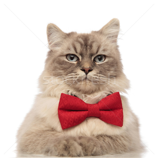close up of elegant cat with red bow tie lying Stock photo © feedough