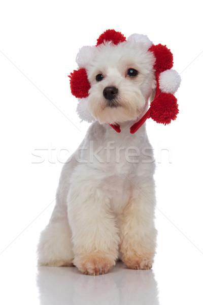 пушистый белый красный сидят глядя собака Сток-фото © feedough