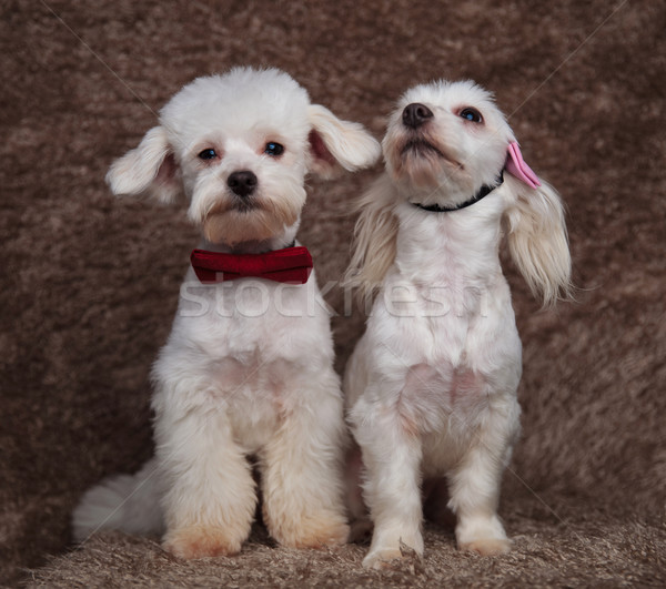 classy bichon couple sitting with on looking up Stock photo © feedough