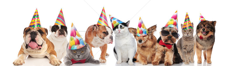 many funny pets of different breeds wearing birthday hats Stock photo © feedough