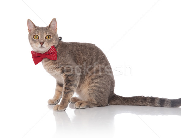 side view of seated classy grey cat wearing red bowtie Stock photo © feedough