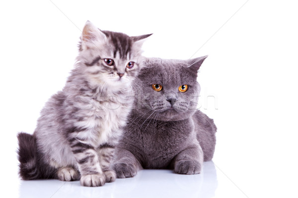two curious british cats looking to a side Stock photo © feedough