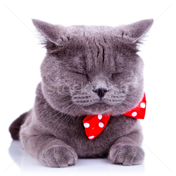 Stock photo: British shorthair grey cat sleeping