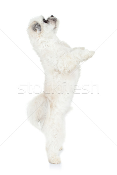 puppy standing on its hind legs Stock photo © feedough