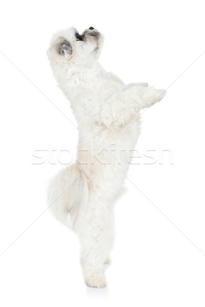 Köpek yavrusu ayakta bacaklar sevimli küçük havanese Stok fotoğraf © feedough