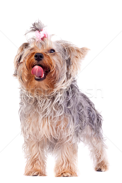 small yorkshire terrier licking its nose Stock photo © feedough