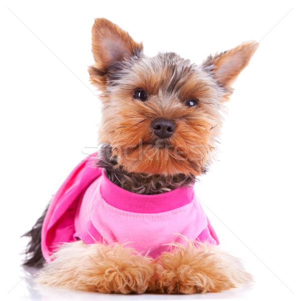 Йоркшир щенков собака глядя сидят Сток-фото © feedough